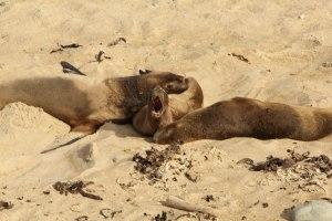 Sea Lions @ Waipapa Point